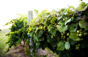 Grapes on the vine at Sanctuary Vineyards, Jarvisburg. Brooke Mayo Photography.