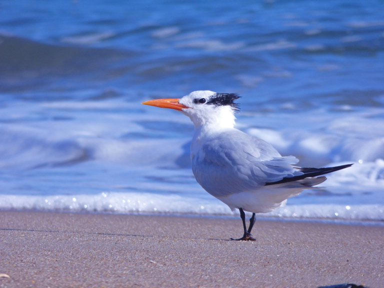 Royal Tern, Kitty Hawk Beach.