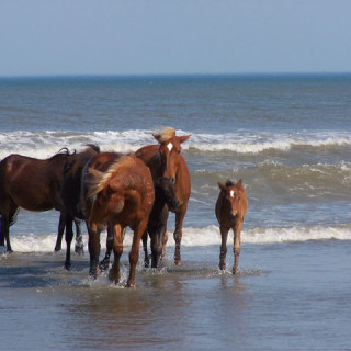 Corolla Wild Horses in the surf.