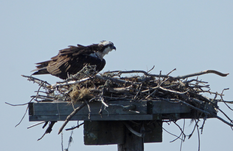 Ospry at Bay Drive nest in Kill Devil Hills.