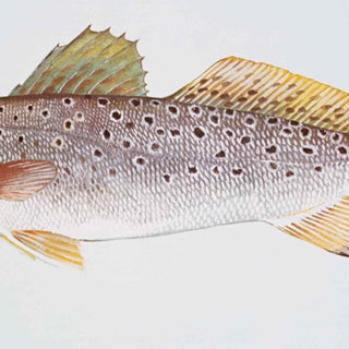 Sea trout. One of the most popular springtime fish.
