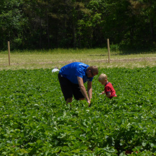 Picking strawberries on a sunny spring day at the Malco's strawberry field.