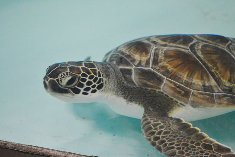 Green turtle, first resident brought to the STAR center at the Roanoke Island Aquarium. Photo, NC Aquarium.