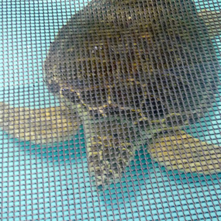 Injured loggerhead swimming in one of the sea turtle rehab tanks. The screen over the tank is to keep debris from visitors from falling in the tank. Photo, Kip Tabb
