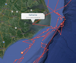 The travels of Katherine the great white shark.
