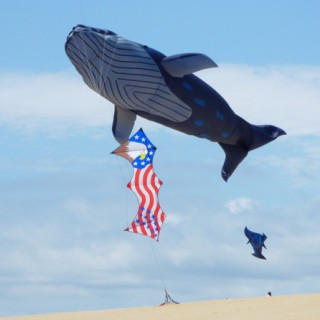 Life-sized blue whale kite flying. In the foreground is Bob Lauder's quad line American flag kite.