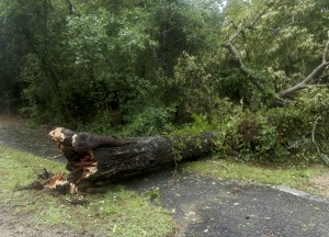 Downed tree, the Woods Road. Hermine doesn't get full credit for blowing this one over. The heart of the tree looked dead.