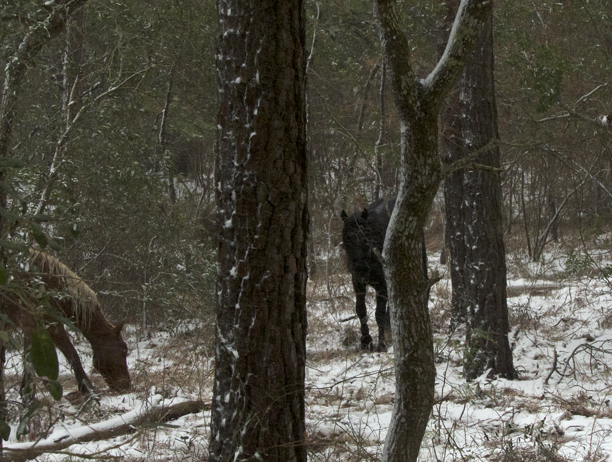 Horses grazing in winter storm at Currituck Banks Estuarine Reserve. All photos, Kip Tabb