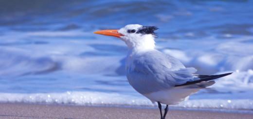 Royal Tern, Kitty Hawk Beach.