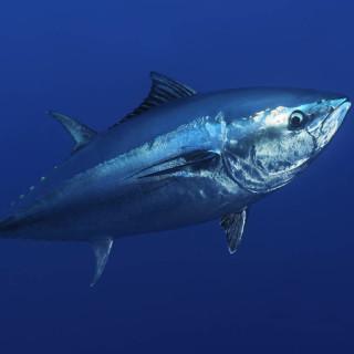 Bluefin tuna.